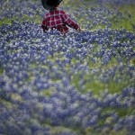 Bluebonnets & Longhorns