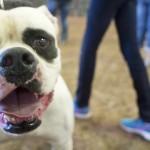 Texas Bulldogge Derby