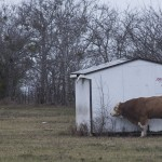 Cold Cow