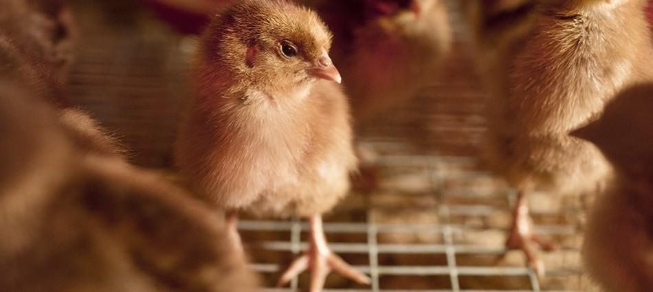Chicken Seminar