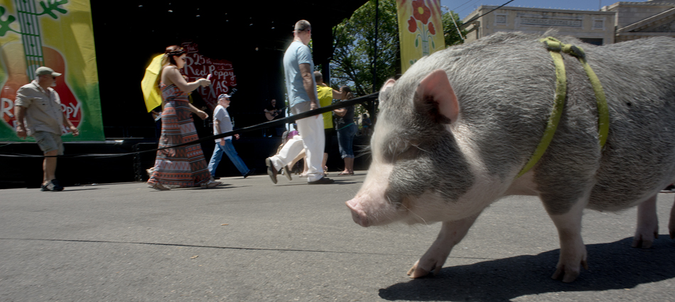 150425 GEORGETOWN, TEXAS:  Gibson, a 1-year-old Vietnamese Minature Pot-bellied pig,  was joined by his owner, Jennifer Taylor,  and Jennifer's daughter, Hazel, 4, for a day of fun at Red Poppy Festival on Saturday.  Gibson is completely house-trained and behaves nicely on his leash.    Photo by Andy Sharp.