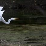 Great Egret at San Gabriel Park