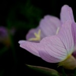 Wine Cup Wildflowers