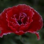 Red Poppy Features