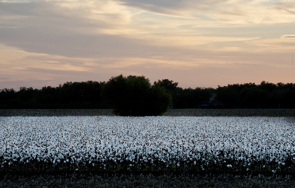 September cotton on the Blackland Prairie.