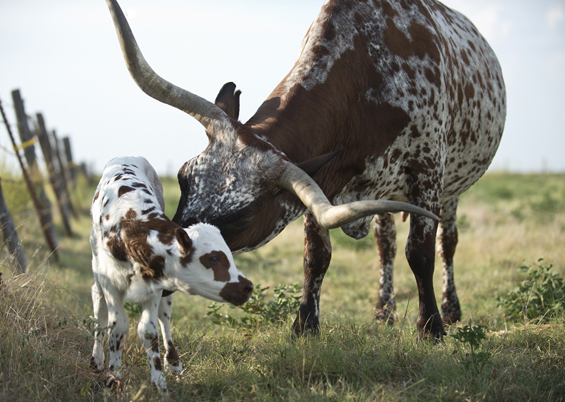 Mama Longhorn with her new baby in Taylor, Texas.