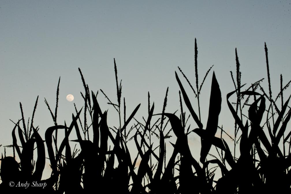 Corn Field & Moon