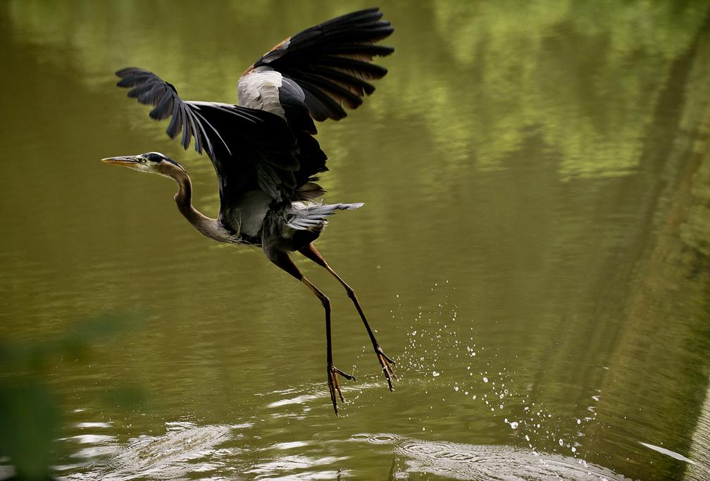 Heron at Chandler Park