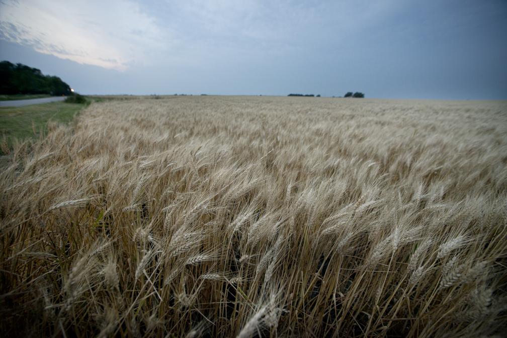 Spring Wheat Crop