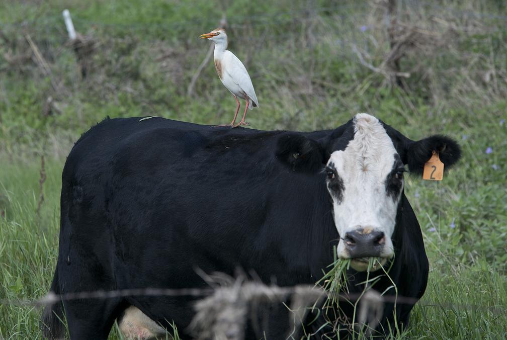 Egret on Cow's Back