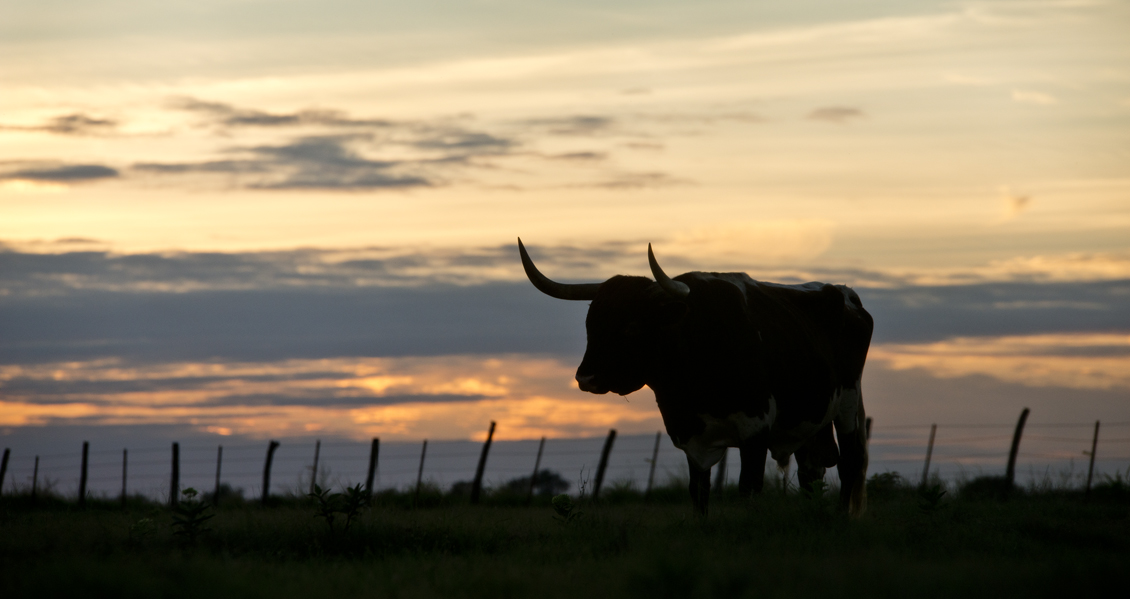 Longhorn Sunset