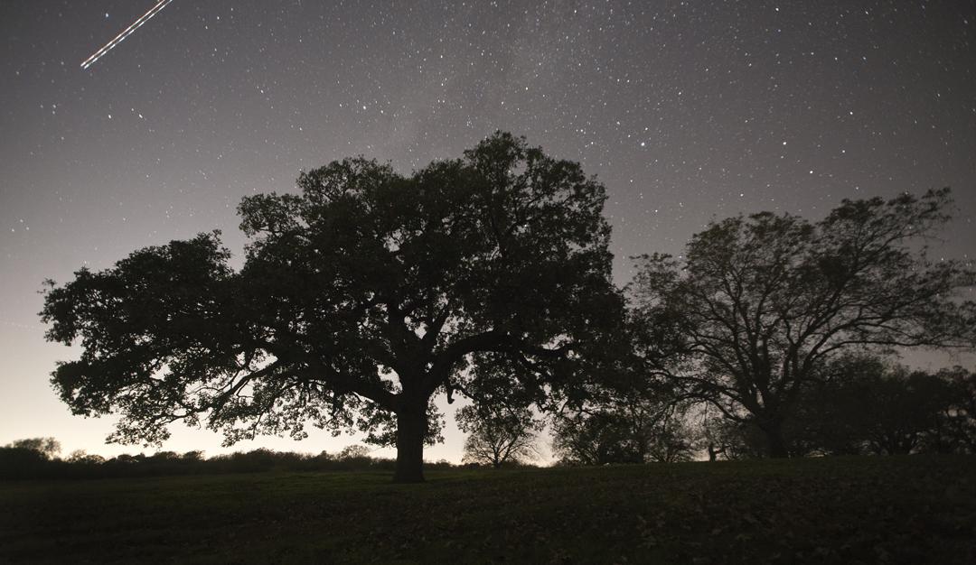 Circleville Burr Oak